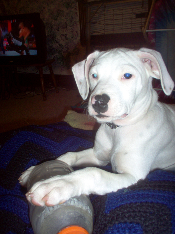 Dalmatian/Pitbull Mix – Guest Post (vol. 2) « leaving the zip code